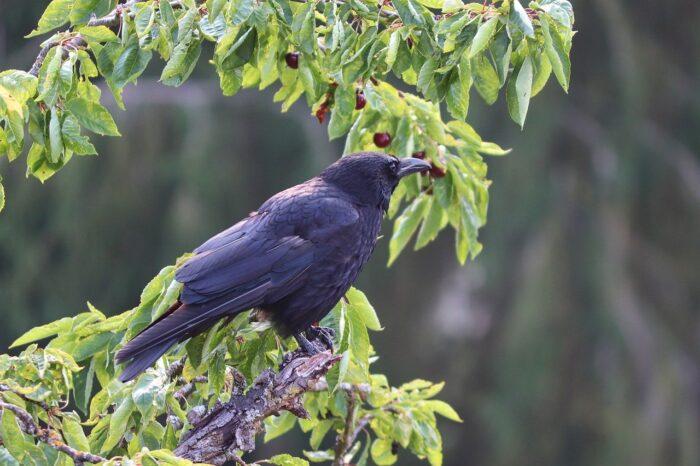 Crow Bird Perched Eating Foraging  - manfredrichter / Pixabay